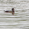 Wood Duck <br /> in Missouri River <br /> Riverwoods Trail in Bridgeton
