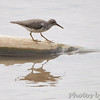 Spotted Sandpiper <br /> in Missouri River <br /> Riverwoods Trail in Bridgeton