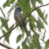 Indigo Bunting <br /> Riverwoods Trail in Bridgeton