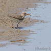 Spotted Sandpiper <br /> Columbia Bottom Conservation Area