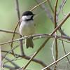 Carolina Chickadee <br /> Columbia Bottom Conservation Area