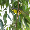 Canada Warbler <br /> Columbia Bottom Conservation Area