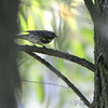 Yellow-rumped Warbler (Myrtle's)  <br /> Columbia Bottom Conservation Area
