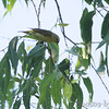 Warbling Vireo <br /> Columbia Bottom Conservation Area