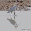 Snowy Egret  <br /> Columbia Bottom Conservation Area