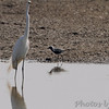Black-bellied Plover, Great and Snowy Egrets  <br /> Columbia Bottom Conservation Area