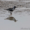 Black-bellied Plover <br /> Columbia Bottom Conservation Area
