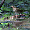 Gray-checked Thrush <br /> Tower Grove Park