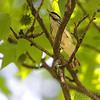 Blackpoll Warbler <br /> Tower Grove Park