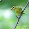 Scarlet Tanager (female) <br /> Tower Grove Park