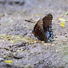 Red-spotted Purple <br /> Columbia Bottom Conservation Area