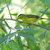 Wilson's Warbler <br /> Columbia Bottom Conservation Area