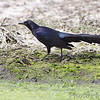 Great-tailed Grackle <br /> Eagle Bluffs Conservation Area