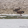 Hudsonian Godwit <br /> and Blue-winged Teal <br /> Eagle Bluffs Conservation Area