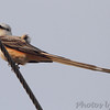 Scissor-tailed Flycatcher <br /> Eagle Bluffs Conservation Area