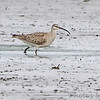 Whimbrel <br /> Eagle Bluffs Conservation Area