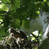 """Red-shouldered Hawk <br> Lost Valley Trail <br> Weldon Spring Conservation Area <br><br><span class=""""noShowSmart""""> <a href=""""/MyKeywords/Bird-Videos/n-gF9bt/i-HmfzX9R/A""""> <span style=""""color:yellow"""">Click here to open video in lightbox/full screen</span></a> </span>  <span class=""""noShowGallery""""> <a href=""""/Birds/Birding-2012-May/2012-05-23-Lost-Valley-Trail/i-HmfzX9R/A""""> <span style=""""color:yellow"""">Click here to open video in lightbox/full screen</span></a> </span>"""