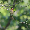 Cedar Waxwing <br /> Lost Valley Trail <br /> Weldon Spring Conservation Area