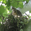 """Red-shouldered Hawk <br> Lost Valley Trail <br> Weldon Spring Conservation Area <br><br><span class=""""noShowSmart""""> <a href=""""/MyKeywords/Bird-Videos/n-gF9bt/i-Ww9Hn3j/A""""> <span style=""""color:yellow"""">Click here to open video in lightbox/full screen</span></a> </span>  <span class=""""noShowGallery""""> <a href=""""/Birds/Birding-2012-May/2012-05-23-Lost-Valley-Trail/i-Ww9Hn3j/A""""> <span style=""""color:yellow"""">Click here to open video in lightbox/full screen</span></a> </span>"""