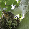 """Red-shouldered Hawk <br> Lost Valley Trail <br> Weldon Spring Conservation Area <br><br><span class=""""noShowSmart""""> <a href=""""/MyKeywords/Bird-Videos/n-gF9bt/i-dPkxmKJ/A""""> <span style=""""color:yellow"""">Click here to open video in lightbox/full screen</span></a> </span>  <span class=""""noShowGallery""""> <a href=""""/Birds/Birding-2012-May/2012-05-23-Lost-Valley-Trail/i-dPkxmKJ/A""""> <span style=""""color:yellow"""">Click here to open video in lightbox/full screen</span></a> </span>"""