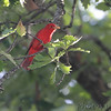 Summer Tanager <br /> Lost Valley Trail <br /> Weldon Spring Conservation Area