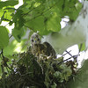 """Red-shouldered Hawk <br> Lost Valley Trail <br> Weldon Spring Conservation Area <br><br><span class=""""noShowSmart""""> <a href=""""/MyKeywords/Bird-Videos/n-gF9bt/i-t7nZjXr/A""""> <span style=""""color:yellow"""">Click here to open video in lightbox/full screen</span></a> </span>  <span class=""""noShowGallery""""> <a href=""""/Birds/Birding-2012-May/2012-05-23-Lost-Valley-Trail/i-t7nZjXr/A""""> <span style=""""color:yellow"""">Click here to open video in lightbox/full screen</span></a> </span>"""