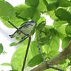 Cerulean Warbler <br /> Lost Valley Trail <br /> Weldon Spring Conservation Area