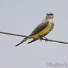 Western Kingbird (No.1) <br /> at old Ford Plant site <br /> behind Hazelwood Fire Station