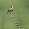 Grasshopper Sparrow <br /> Columbia Bottom Conservation Area