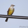 Western Kingbird (No.2) <br /> at old Ford Plant site <br /> behind Hazelwood Fire Station