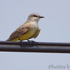 Western Kingbird <br /> at old Ford Plant site <br /> behind Hazelwood Fire Station