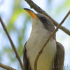 Yellow-billed Cuckoo <br /> Columbia Bottom Conservation Area