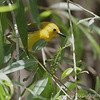 Prothonotary Warbler <br /> Columbia Bottom Conservation Area