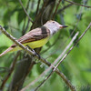 Great Crested Flycatcher <br /> Columbia Bottom Conservation Area