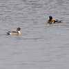 Northern Pintail and Mallard <br /> Teal Pond <br /> Riverlands Migratory Bird Sanctuary