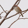 Eurasian Tree Sparrow <br /> Riverlands Migratory Bird Sanctuary