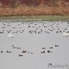 Trumpeter Swans <br /> and lots of ducks <br /> Heron Pond <br /> Riverlands Migratory Bird Sanctuary