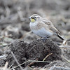 Horned Lark <br /> Orton Road <br /> Riverlands Migratory Bird Sanctuary