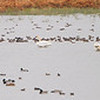 Trumpeter Swans <br /> and lots of ducks <br /> Heron Pond <br /> Riverlands Migratory Bird Sanctuary <br /> (pano of the next 3 photos)