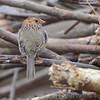 Harris's Sparrow <br /> Riverlands Migratory Bird Sanctuary
