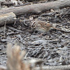 Song Sparrow <br /> Riverlands Migratory Bird Sanctuary