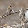Harris's Sparrow <br /> Riverlands Migratory Bird Sanctuary
