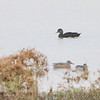 American Black Duck <br /> Heron Pond <br /> Riverlands Migratory Bird Sanctuary
