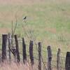 Mountain Bluebird <br /> SE 341 Rd, Johnson County, Missouri