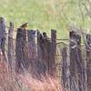 Mountain Bluebird and Eastern Meadowlark <br /> SE 341 Rd, Johnson County, Missouri