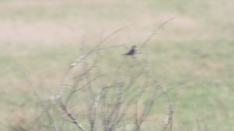 "Mountain Bluebird  <br> SE 341 Rd, Johnson County, Missouri <br> *** 13th state record *** <br><br><span class=""noShowSmart""> <a href=""/MyKeywords/Bird-Videos/n-gF9bt/i-L6Ns9w6/A""> <span style=""color:yellow"">Click here to open video in lightbox/full screen</span></a> <br><br></span>  <span class=""noShowGallery""> <a href=""/Birds/Birding-2012-November/2012-11-15-Mountain-Bluebird/i-L6Ns9w6/A""> <span style=""color:yellow"">Click here to open video in lightbox/full screen</span></a> </span>"