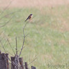 American Kestrel <br /> SE 341 Rd, Johnson County, Missouri