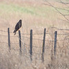 Northern Harrier <br /> SE 341 Rd, Johnson County, Missouri