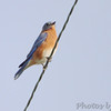 Eastern Bluebird <br /> SE 341 Rd, Johnson County, Missouri