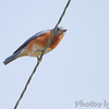 Eastern Bluebird <br /> SE 341 Rd, Johnson County, Missouri